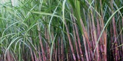 ३५ प्रतिशत किसानले रोप्न छाडे उखु